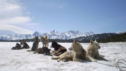 Mammoth Dog Teams - Sled Dogs